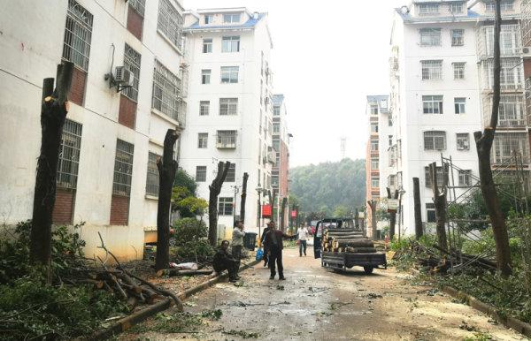29棵大树遭拦腰砍断后续  园林部门将依规处理