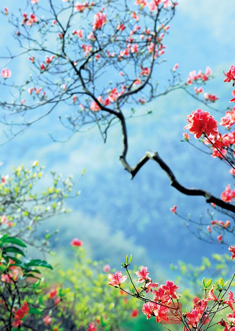 组图:杜鹃花开映山红