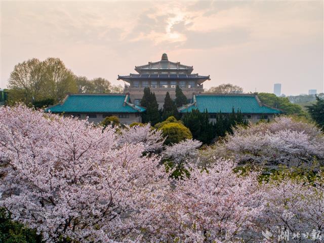 武汉樱花将于2月底迎来初花期 今年有望追平或打破最早开花纪录