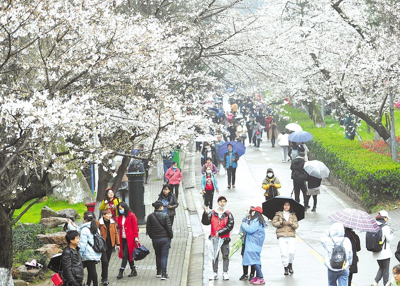 武大樱花对公众开放首日 抗疫医护人员与游客共赏雨樱之美