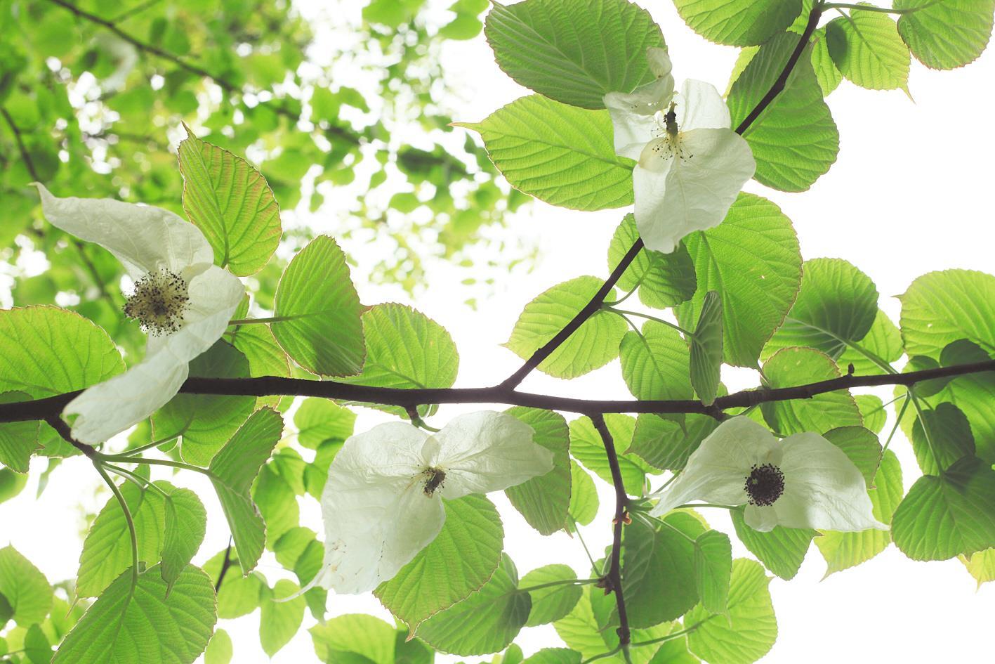"""""""中国鸽子树""""首次花开武汉植物园"""