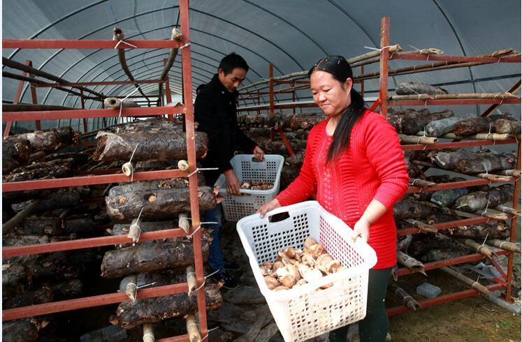香菇种植强村富民