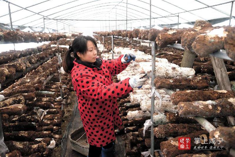 图文:食用菌种植助农增收