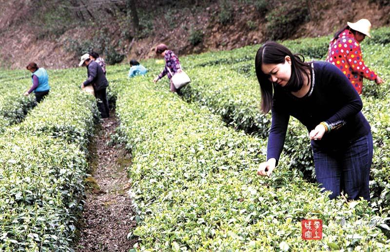 图文:优质有机茶开采