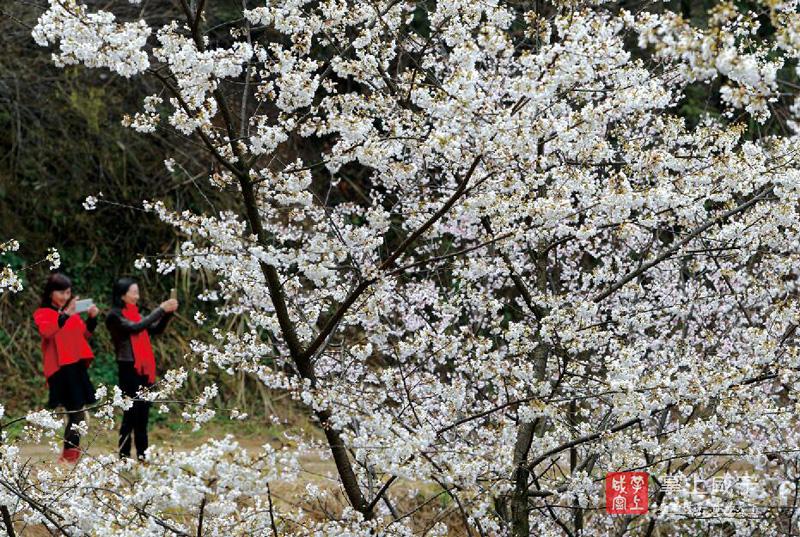 图文:大幕樱花始盛开