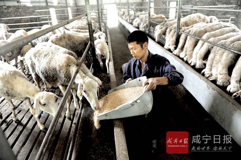 图文:养殖湖羊奔富路