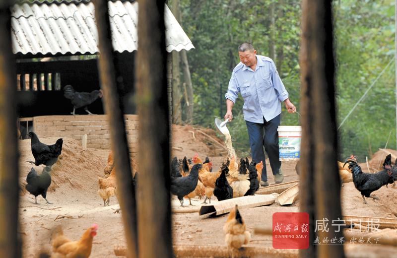 图文:林下养鸡