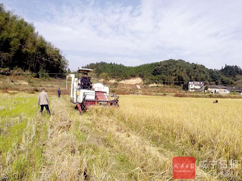 图文:再生稻喜获丰收
