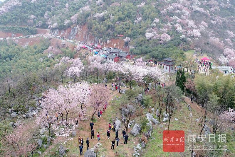 图文:葛仙山迎来赏樱旺季