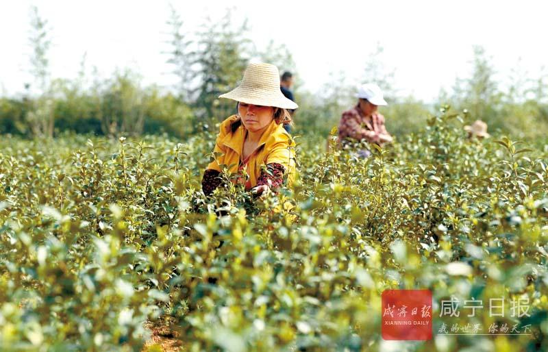 图文:茶园务工 脱贫致富