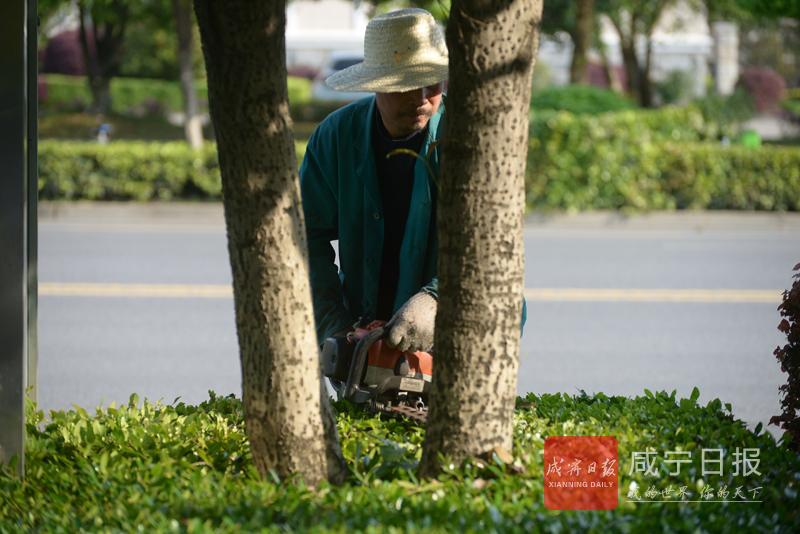 图文:园林工人修枝忙
