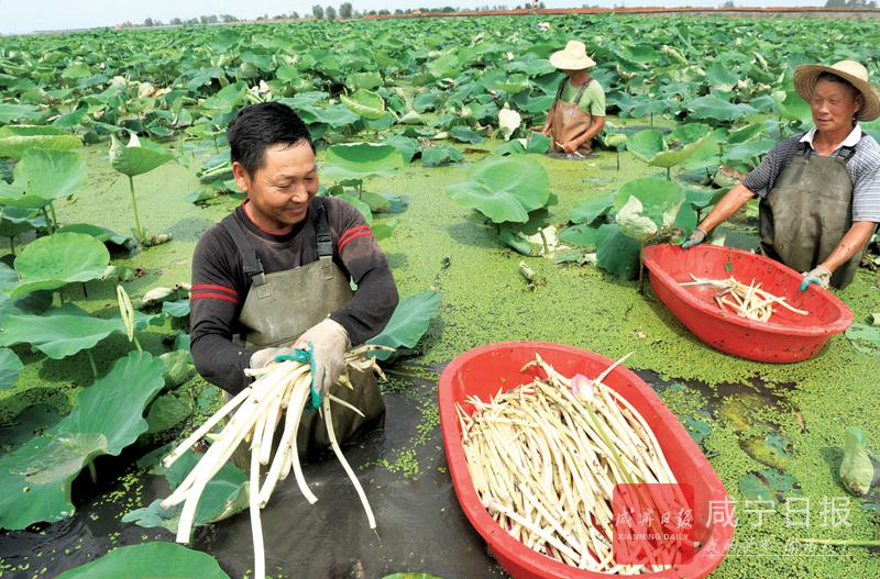 图文:荷塘经济助农增收