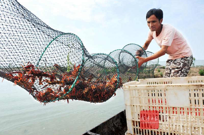 图文:养殖小龙虾