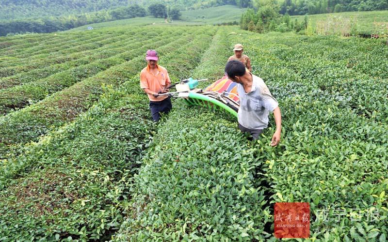 图文:采制砖茶