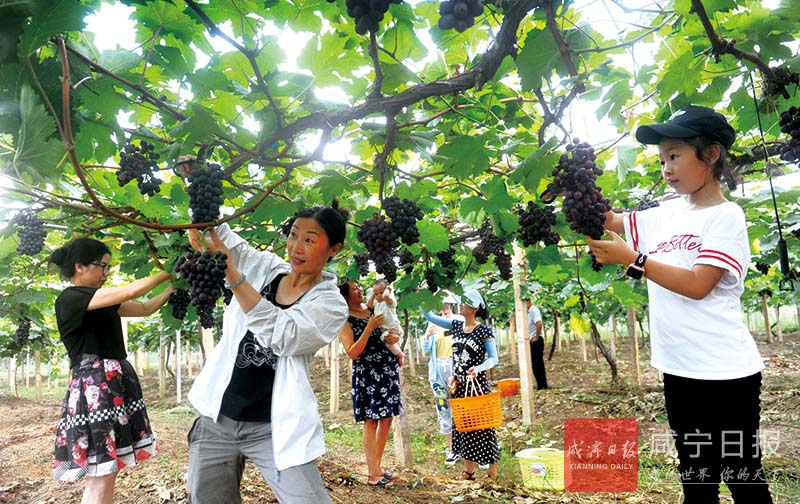 图文:葡萄熟了