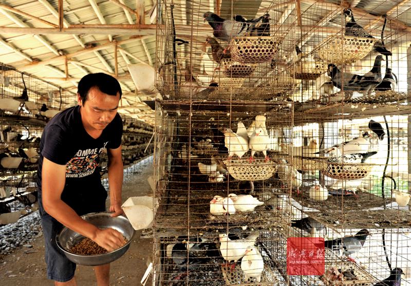 图文:家庭式规模养土鸽