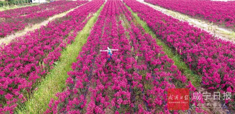 图文:紫薇花开