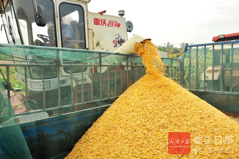 图文:机收玉米高效助农