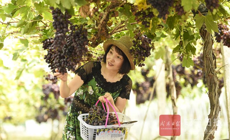 图文:有机葡萄受青睐