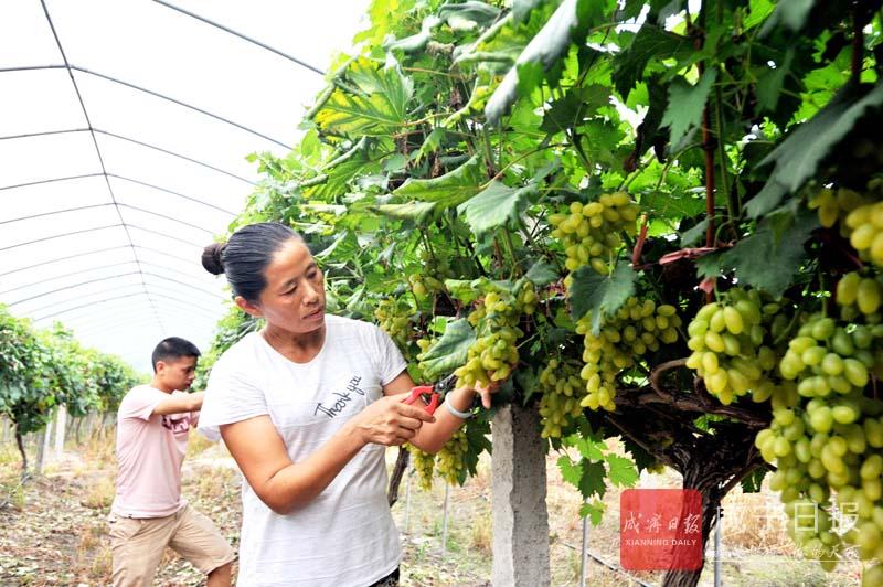 图文:葡萄喜丰收
