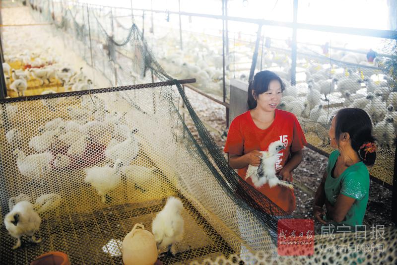 图文:养鸡能人助脱贫