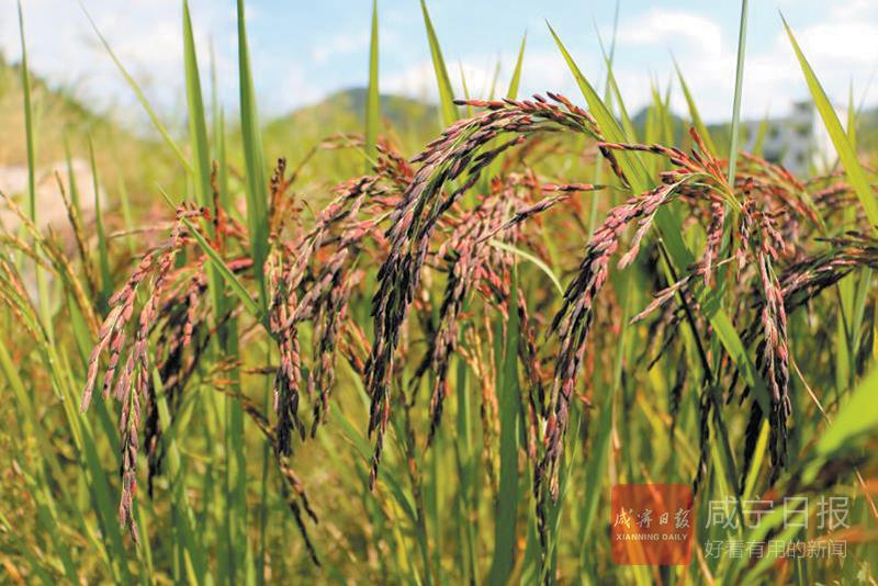 图文:青年郑立乔返乡种彩稻
