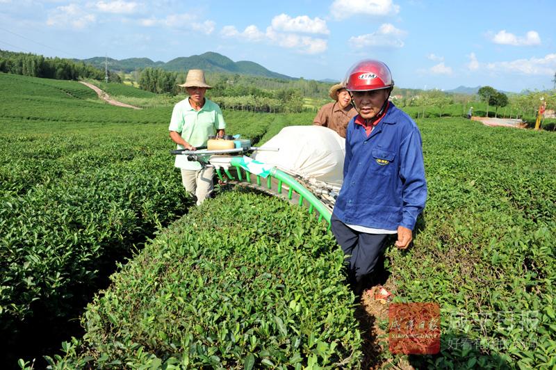 图文:收割秋茶