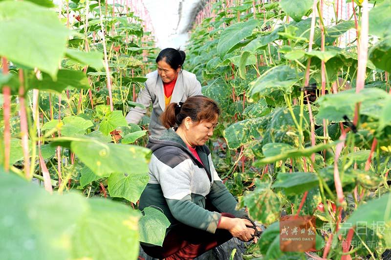 图文:发展蔬菜种植壮大集体经济