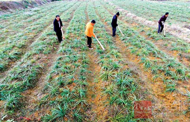 图文:产业扶贫助农增收