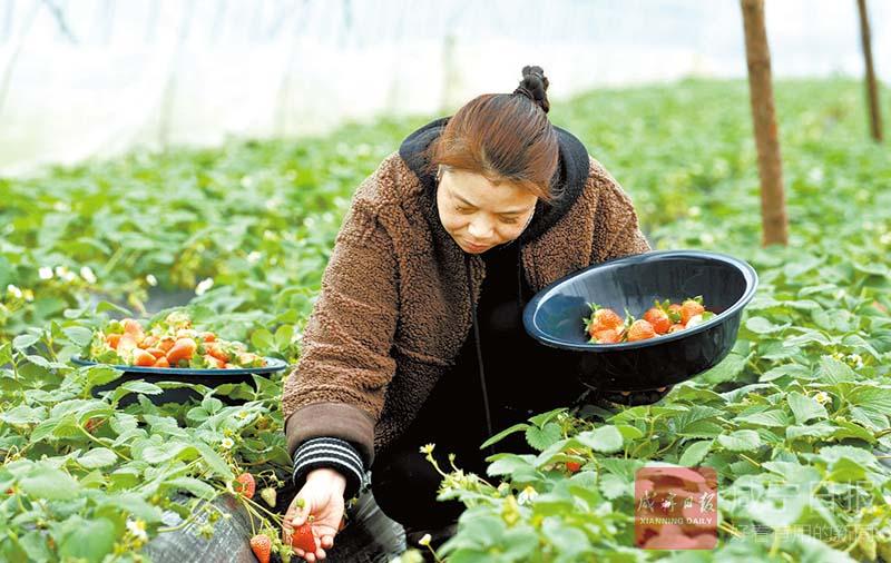 图文:浙商种草莓带富一方人