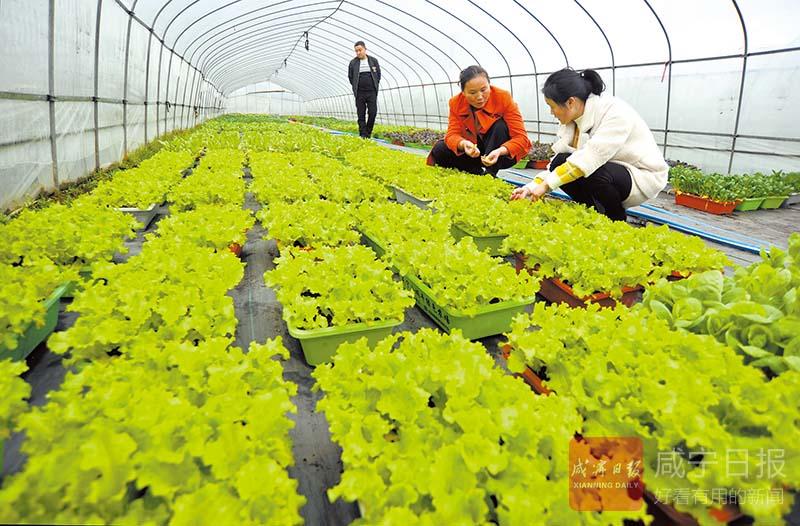 圖文:盆栽活性蔬菜俏市場