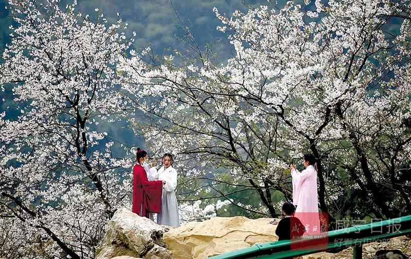 图文:大幕樱花迎来赏花季