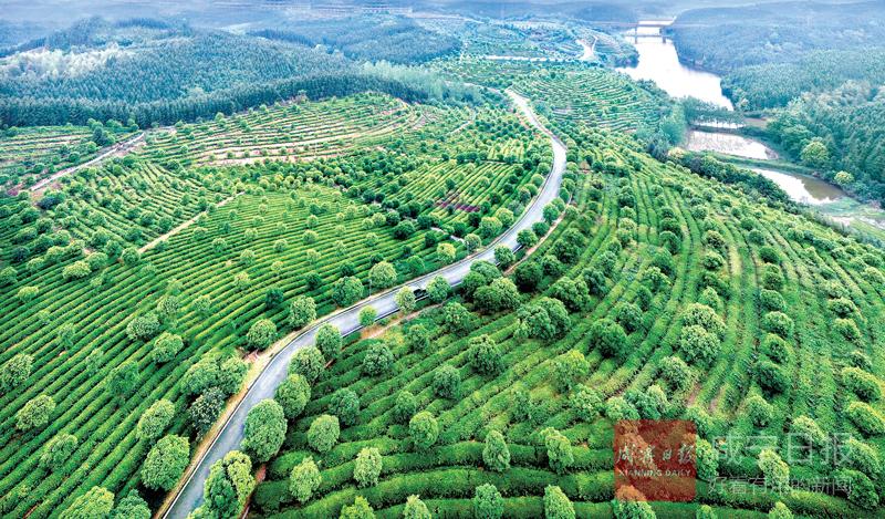 图文:茶园生态路