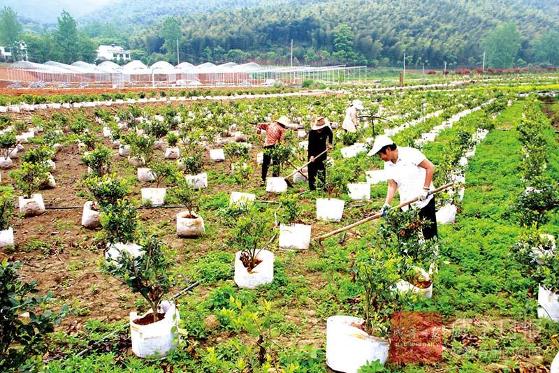 图文:苗木种植助农增收