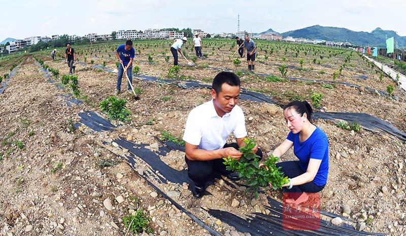 圖文:特色種植助力脫貧