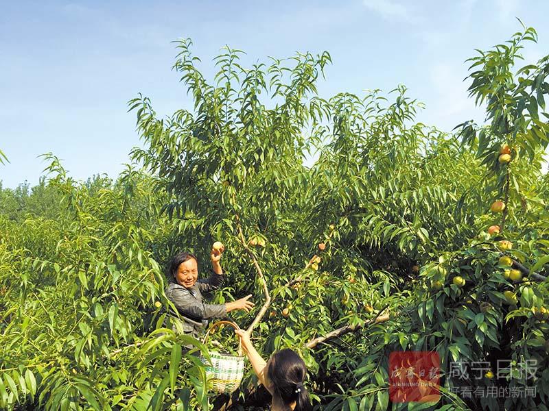 圖文:桃園基地鮮果垂枝