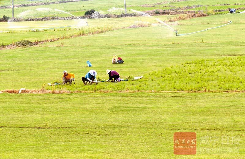 图文:草皮种植带动就业