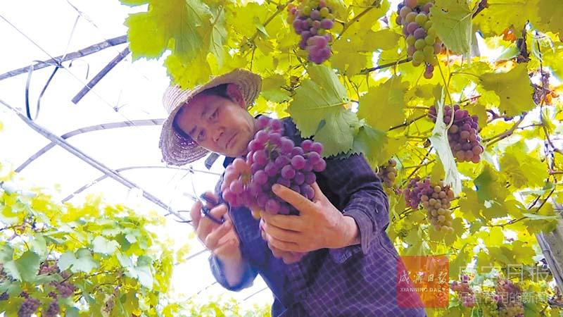 圖文:葡萄掛滿枝頭農戶喜獲豐收