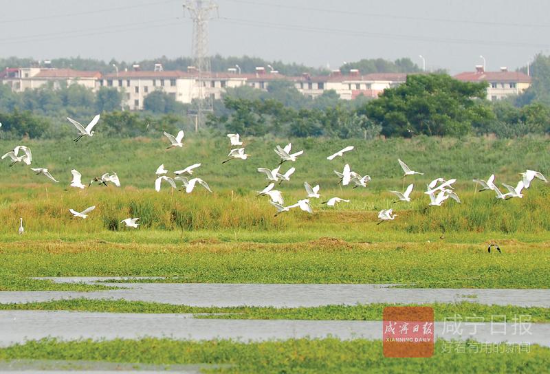 图文:大洲湖湿地白鹭飞
