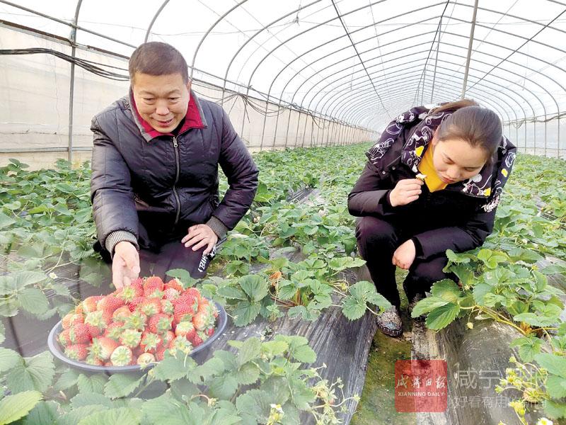 圖文:冬季草莓正飄香