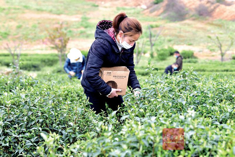 圖文:采春茶
