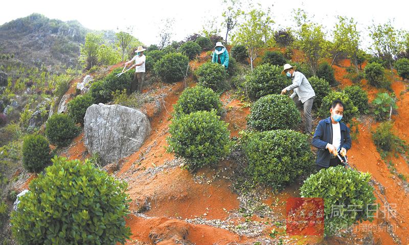 图文:种植苗木  助农致富