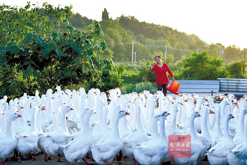 圖文(wen)︰林下養鵝