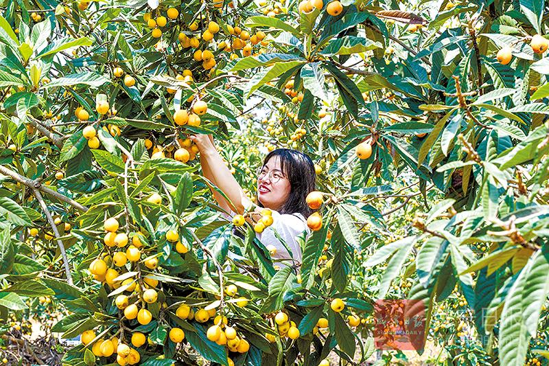圖文(wen)︰枇杷豐收