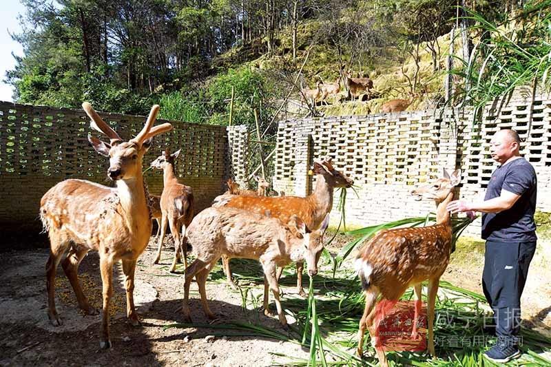 圖文(wen)︰梅(mei)花(hua)鹿養殖促增收