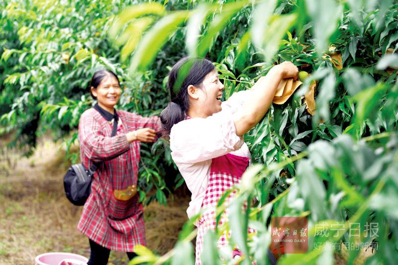 圖文:水果套袋促增產