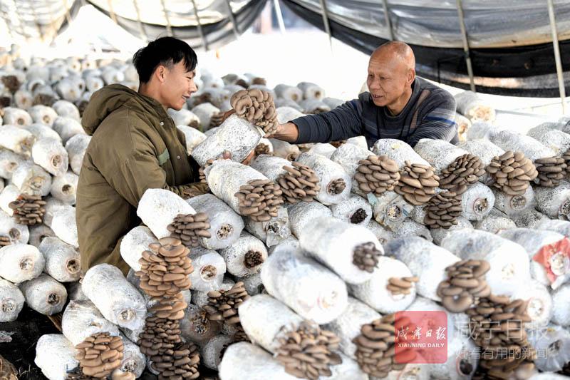 圖文:嘉魚蜀港村姜太山轉行種平菇
