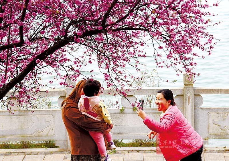 圖文:三湖連江?櫻花綻放