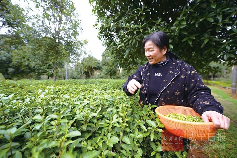 图文:桂花树下采春茶
