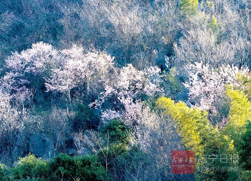 图文:葛仙山上樱花开